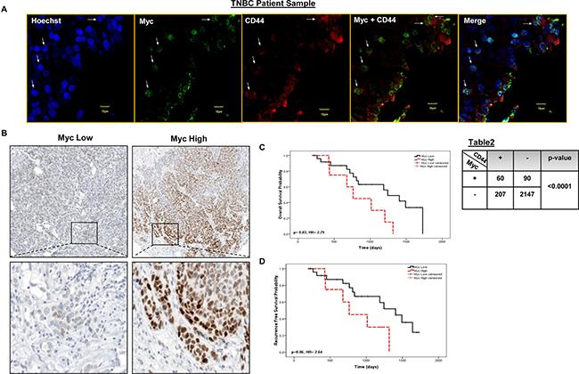 Myc co-localizes with CD44 in distinct tumor sub-populations and has prognostics significance in primary TNBC tumors .