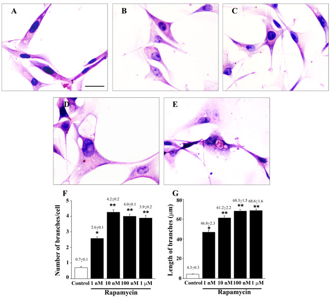 Rapamycin dose-dependently modifies cell morphology and cell branches.