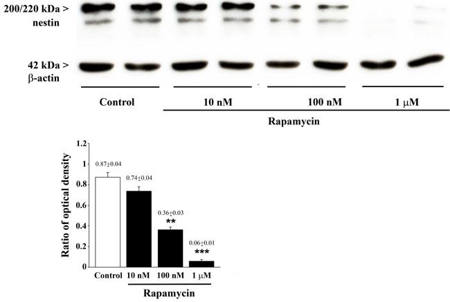 Rapamycin dose-dependently reduces nestin assessed by immune-blotting.