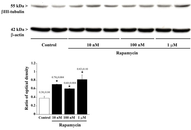 Rapamycin dose-dependently increases βIII-tubulin assessed by immune-blotting.