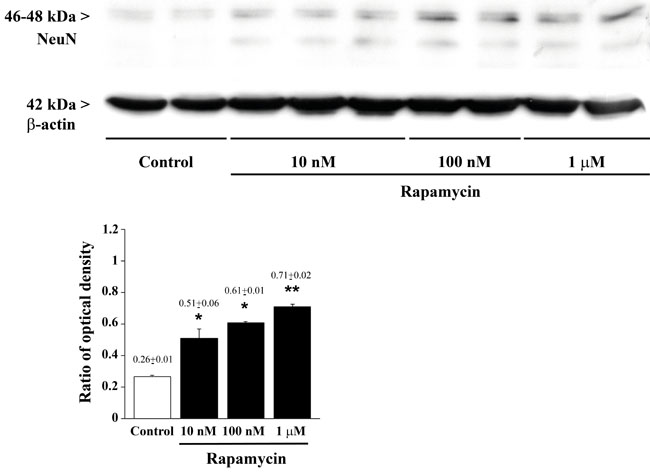 Rapamycin dose-dependently increases NeuN assessed by immune-blotting.