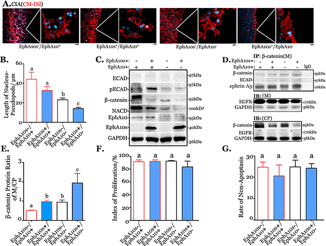 Expression pattern EphA10s and EphA10 regulates cellular migration and invasion.