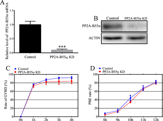 Effects of PP2A-B55α knock down on mouse oocyte maturation.