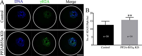 PP2A-B55α knock down triggers the DNA damage response in oocytes.