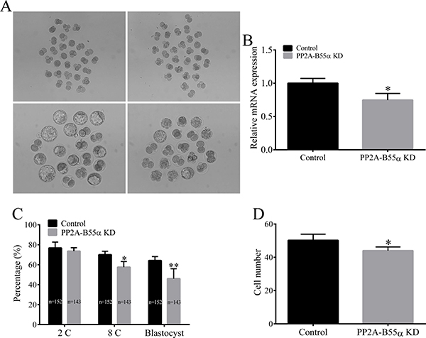 Knock down of PP2A-B55α impairs embryonic development to the blastocyst stage.