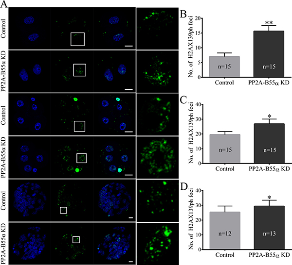 Knock down of PP2A-B55α affects the level of DNA damage in mouse embryos.