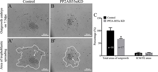 Knock down of PP2A-B55α affects the implantation potential of mouse embryos.