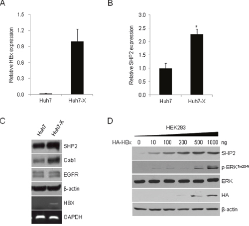 HBx induces SHP2 expression and activates ERK signaling.