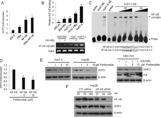 HBx activates the Shp2 promoter via an NF-κB–p65 binding site.
