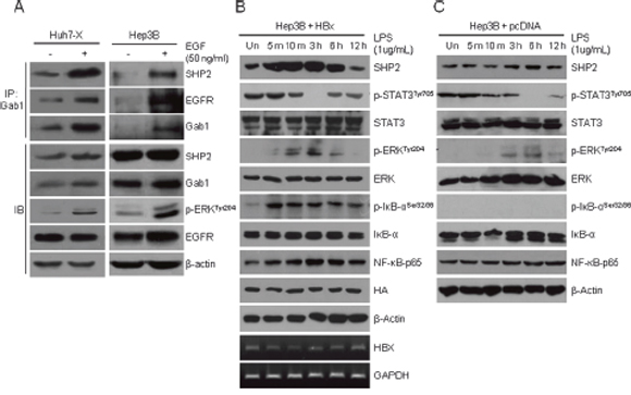 EGFR–SHP2–Gab1 complex-mediated ERK signaling and STAT3 signaling are inversely active in hepatocellular carcinoma cells.