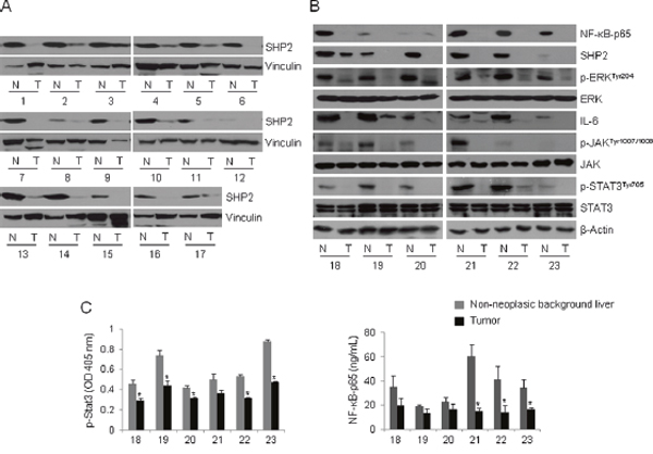 The NF-κB–SHP2–ERK and IL-6–JAK–SHP2 pathways are concomitantly increased in HBV-associated liver tissues.