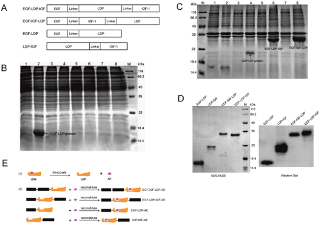 Construction, expression and purification of fusion proteins and their enediyne-energized analogues.