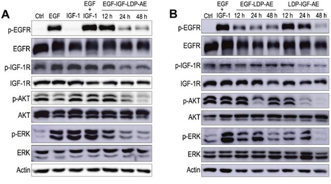 Effects of enediyne-energized fusion proteins on EGFR/IGF-1R signaling.