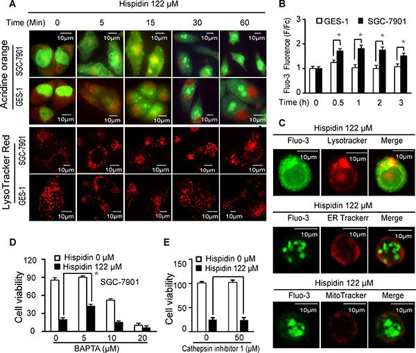 Hispidin induces lysosomal membrane permeabilization (LMP).