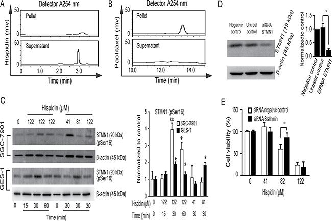 STMN1 phosphorylation and dephosphorylation is involved in hispidin-induced microtubule depolymerization.