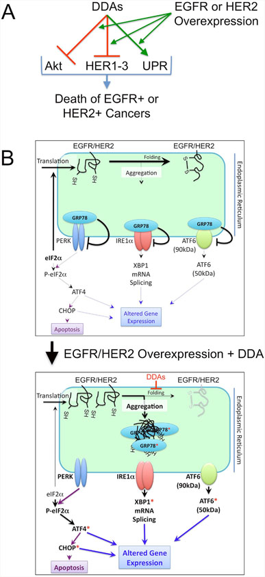 Model for the anticancer actions of DDAs.
