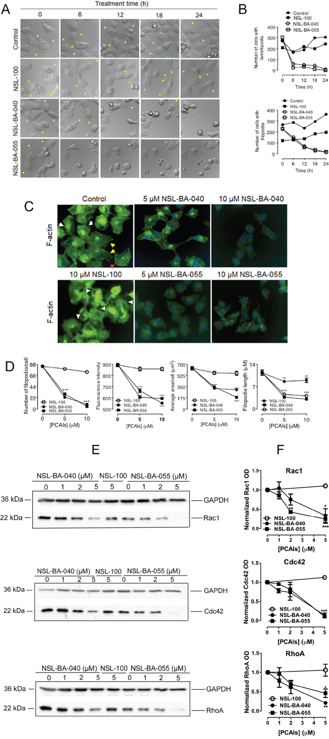 PCAIs diminish levels of Rho GTPases to disrupt filopodia and lamellipodia.