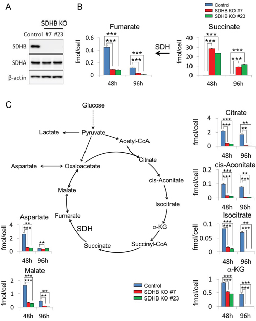 Inhibition of aerobic metabolism in SDHB knockout cancer cells.