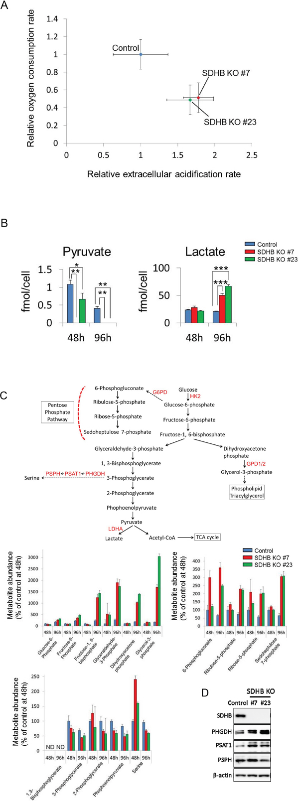 Metabolic switch from aerobic metabolism to glycolysis in SDHB-deficient cells.