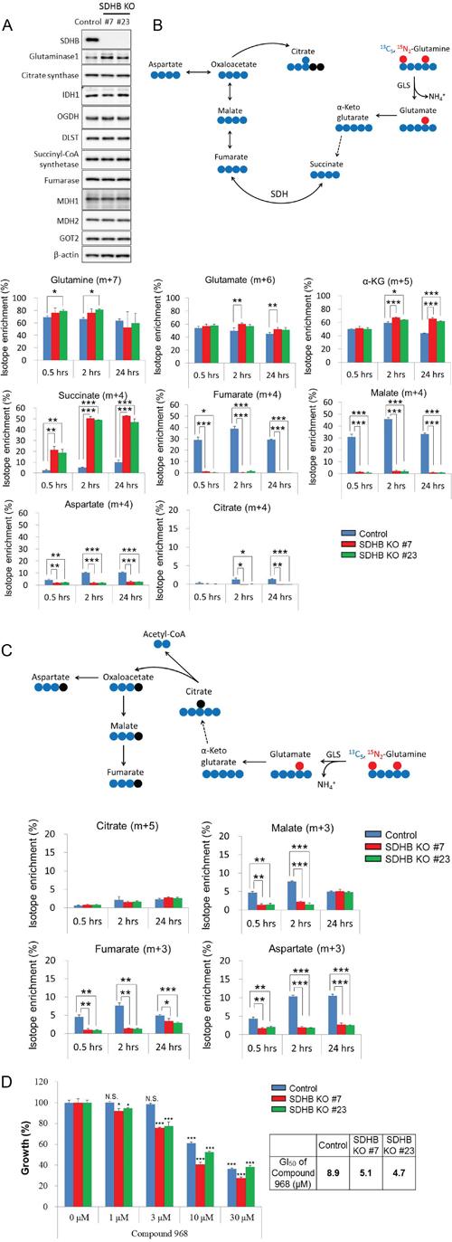 Growth of SDHB knockout cells dependent on glutaminolysis.