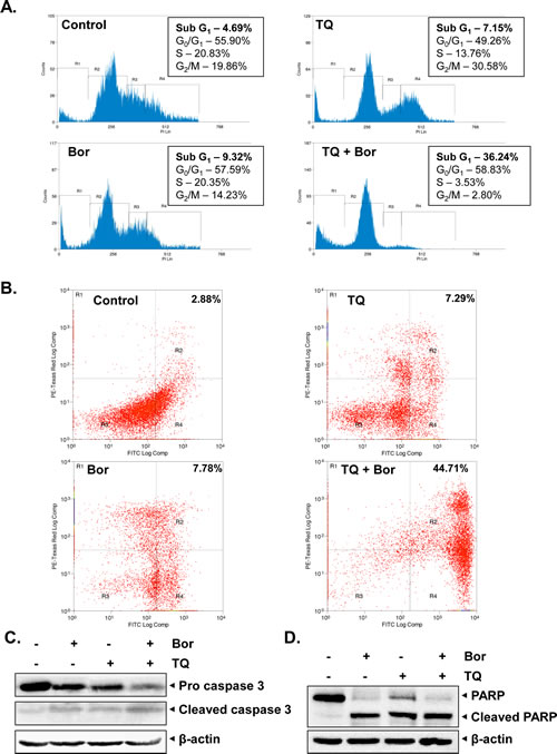Fig 2: TQ potentiates the apoptotic effect of bortezomib causing accumulation of U266 cells in sub-G1 phase, activates caspase-3 and induce PARP cleavage.