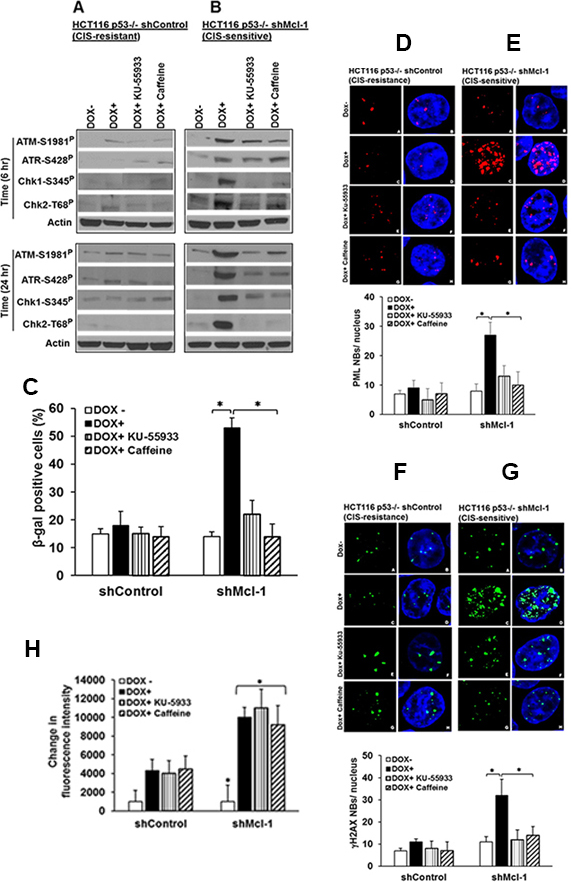 DDR components are important in Mcl-1-regulated senescence.