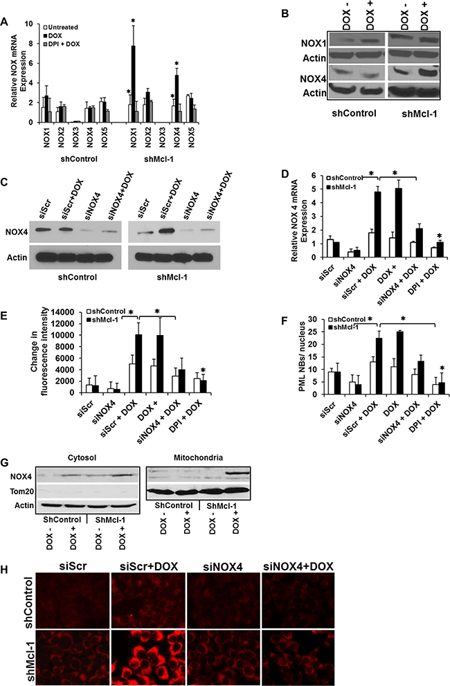 Mcl-1 prevents accumulation of NOX4, protecting cells from ROS-mediated CIS.