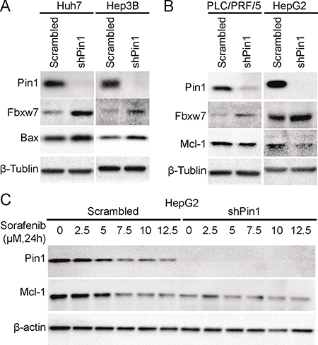 Pin1 affects sorafenib-induced cell death through regulation of Mcl-1 and Bax protein expression.