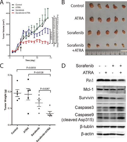 The Pin1 inhibitor ATRA synergistically enhances the ability of sorafenib to inhibit tumor growth of HCC in vivo.