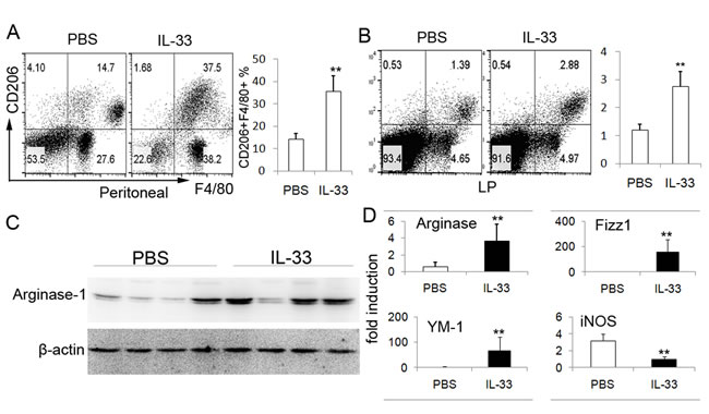 IL-33 treatment increases the number of AAM in TNBS-induced colitis.