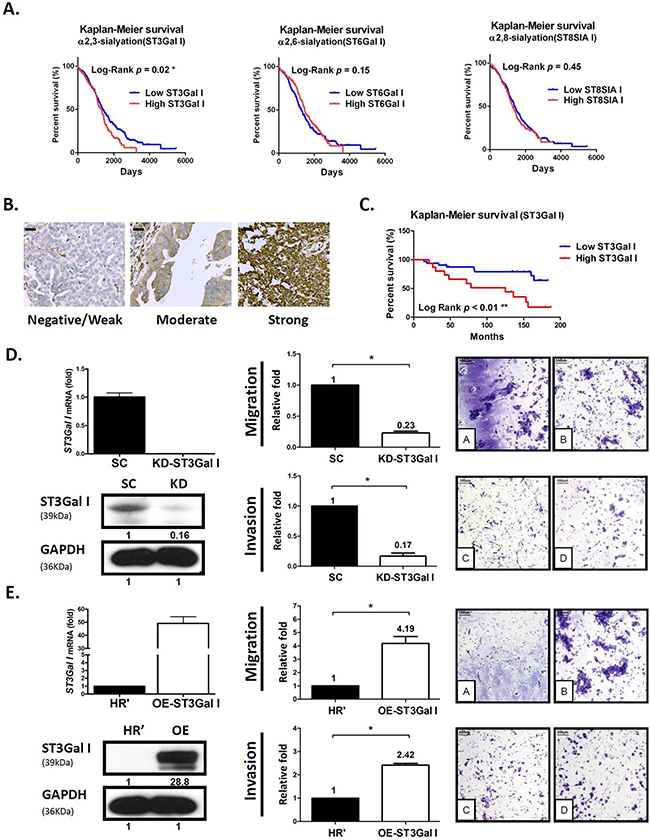 ST3GalI is a prognostic factor for tumor migration and peritoneal dissemination of human ovarian cancer.
