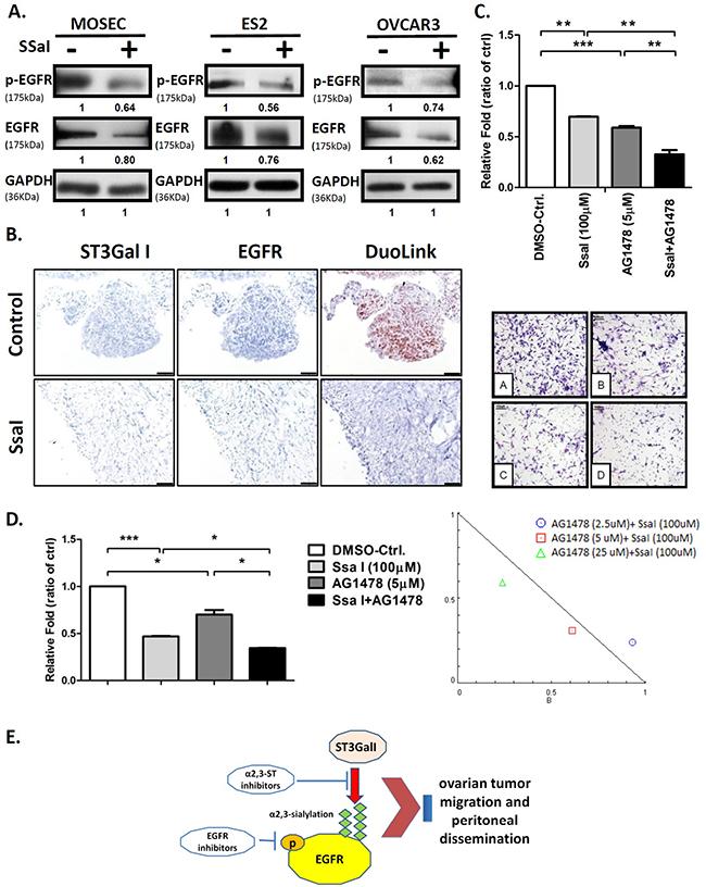 α2,3-sialylation inhibitor SsaI affects EGFR signaling and synergizes with TKI.