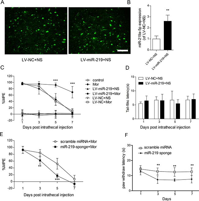 Overexpression of miR-219-5p attenuates the development of morphine tolerance. (A)