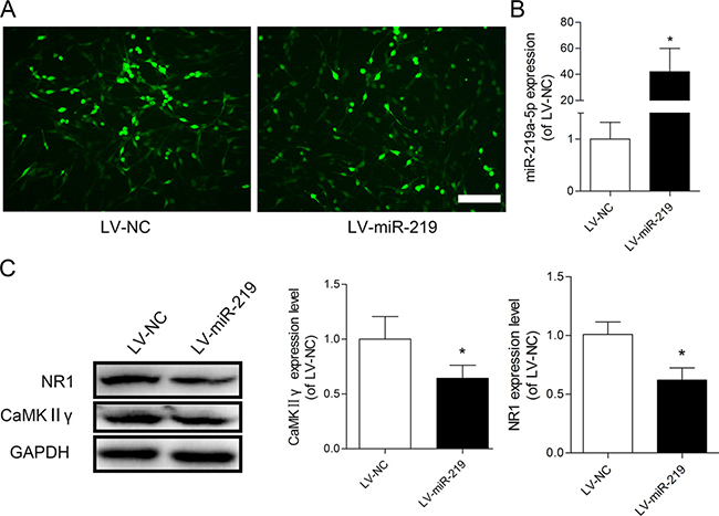 Overexpression of miR-219-5p decreased CaMKIIγ and NR1 expression in PC12 cells.