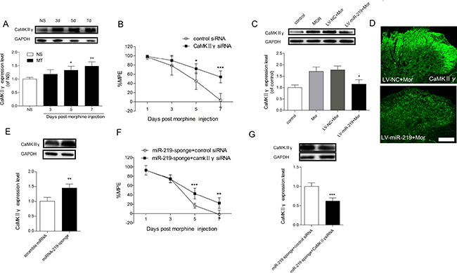 CaMKIIγ is responsible for miR-219-5p induced attenuation of morphine tolerance.