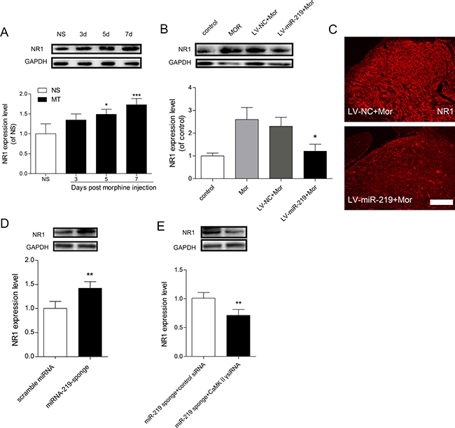 NR1 is involved in miR-219-5p mediated regulation of morphine tolerance.