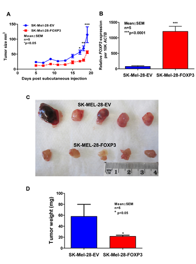 Assessment of growth of SK-MEL-28-EV and SK-MEL-28-FOXP3 clones as xenografts in vivo.