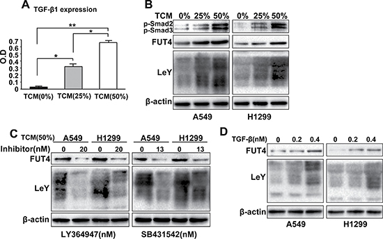 M2 macrophages promoted FUT4/LeY expression through the TGF-β1/Smad2/3 signaling pathway in in vitro assays.