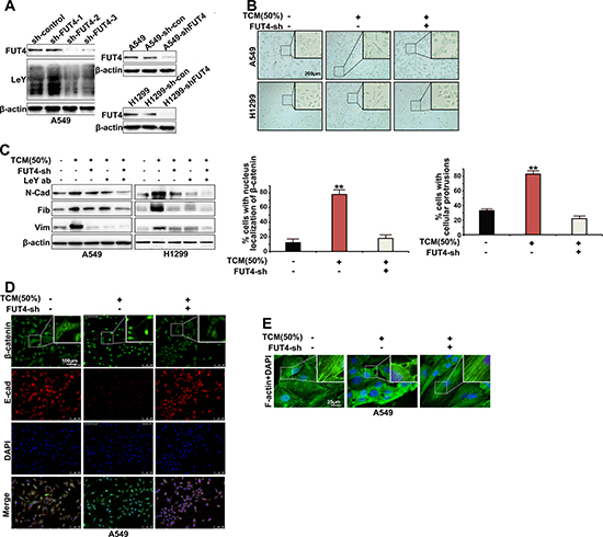 FUT4/LeY was indispensable in M2 macrophages-mediated cytoskeletal remodeling and EMT.
