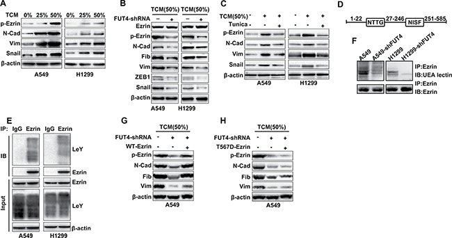 FUT4/LeY-mediated fucosylation of Ezrin was closely associated with the phosphorylation of Ezrin.