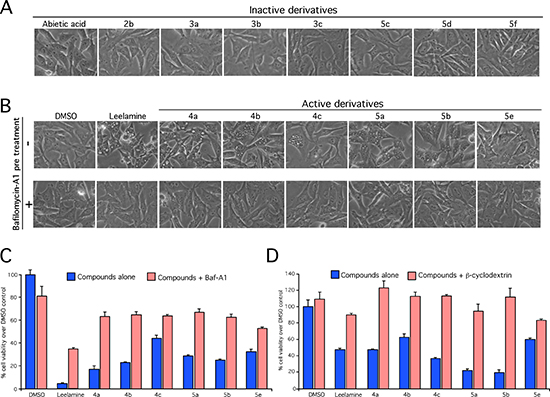Lysosomotropism mediated by the amino group of leelamine is needed for vacuolization in cancer cell death.