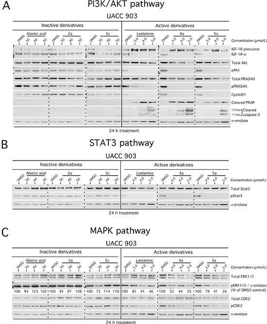 Active derivatives inhibit three key signaling pathways regulating melanoma development.