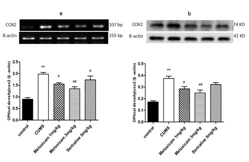 The effects of meloxicam treatment on mRNA and protein expression levels of COX2 in the hippocampus of CUMS rats.