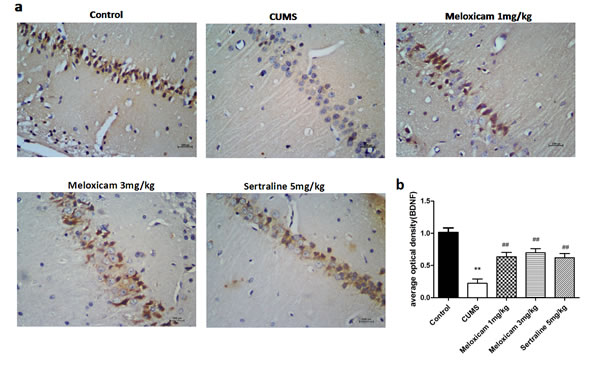 The expression of BDNF protein in the hippocampus of CUMS rats upon the activities of COX2.