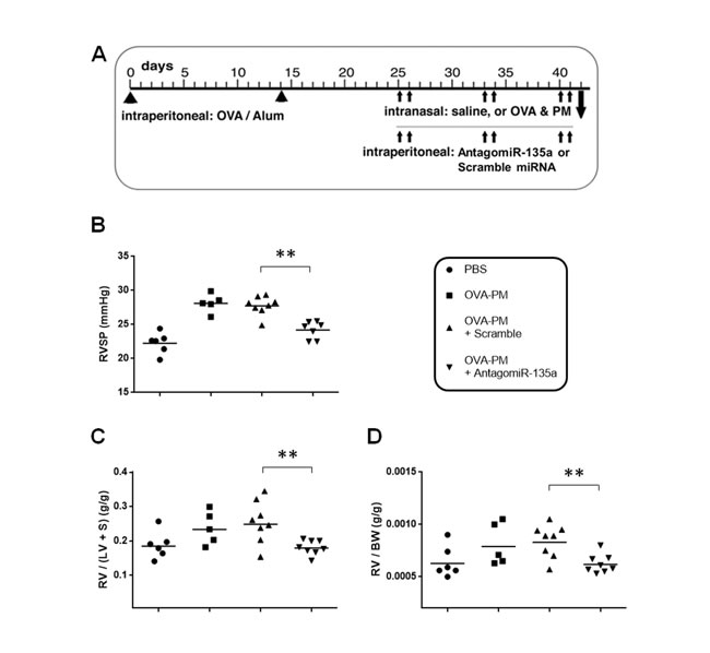 Decreased RVSP and RVH in AntagomiR-135a injected mice exposed to OVA & PM.