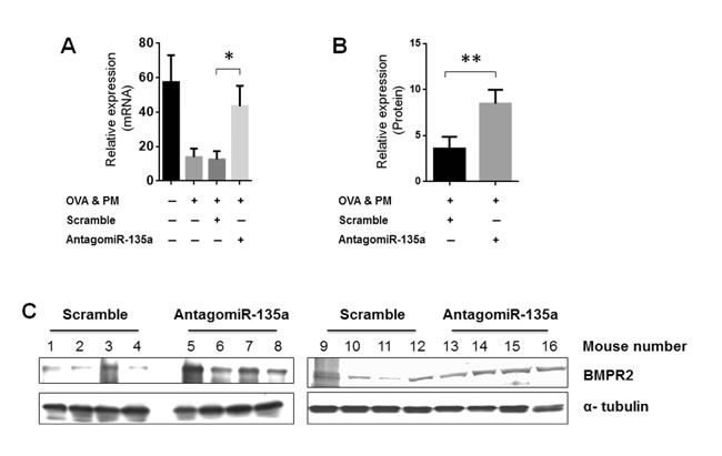 Recovered BMPR2 expression in AntagomiR-135a injected mice exposed to OVA & PM.