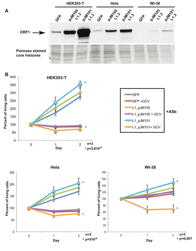 Expression of exogenous wild-type L1 ORF1/2 is necessary and sufficient to confer sensitivity to GCV.