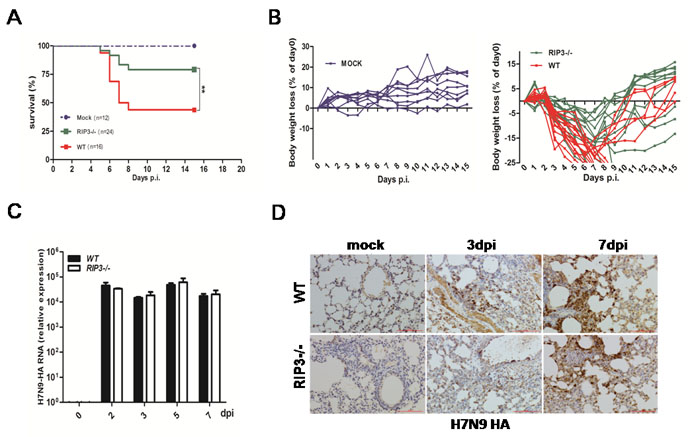 RIP3 deficiency promotes survival in mice infected with H7N9 virus despite virus control.