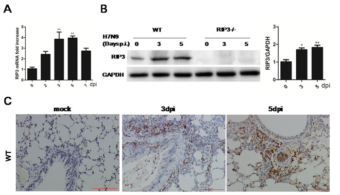 RIP3 is induced in lung tissues during H7N9 virus infection.