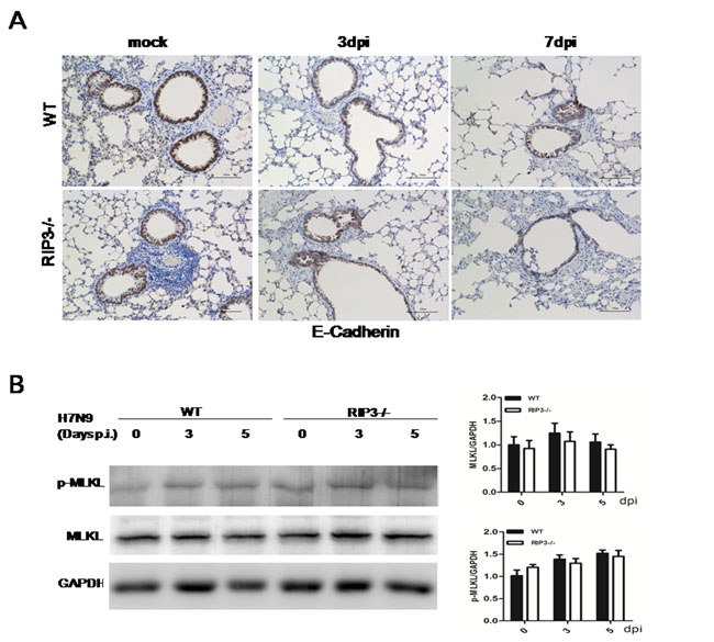 Necroptosis is not the leading cause of distinct lethality in mice challenged with H7N9 virus.